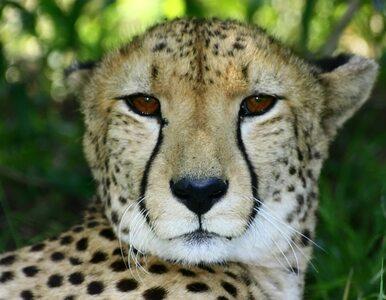 Prezydent afrykańskiego kraju zaatakowany przez... geparda