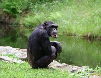 Zwierzęta z ludzkim głosem. Nie tylko w święta - w USA szympansy stają...