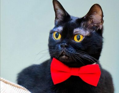 Czarny kot z białymi brwiami? To przepis na nowego bohatera internetu