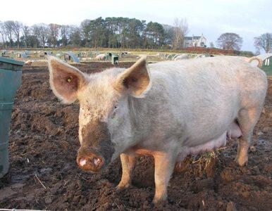 Chińscy rolnicy hodują za dużo świń. Rząd interweniuje