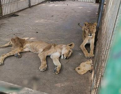 """Chore i głodujące lwy walczą o życie. """"Ich kości przebijają się przez..."""