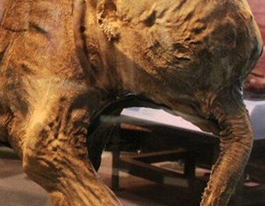 Po Azji podróżuje mamut