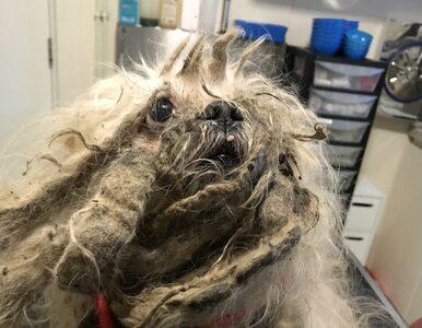 Pies miał ponad 2 kg brudnej sierści. Został uratowany dzięki przypadkowi