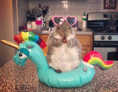 Thumbelina jest jedyna w swoim rodzaju. Urocza wiewiórka podbija Instagram