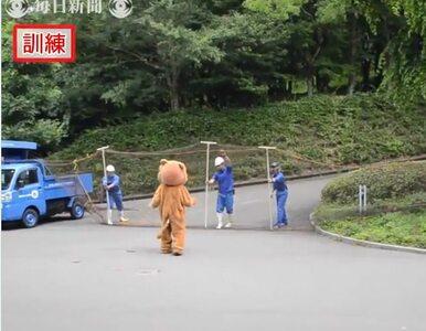 Ucieczka lwa w japońskim zoo. Było raczej śmiesznie niż strasznie