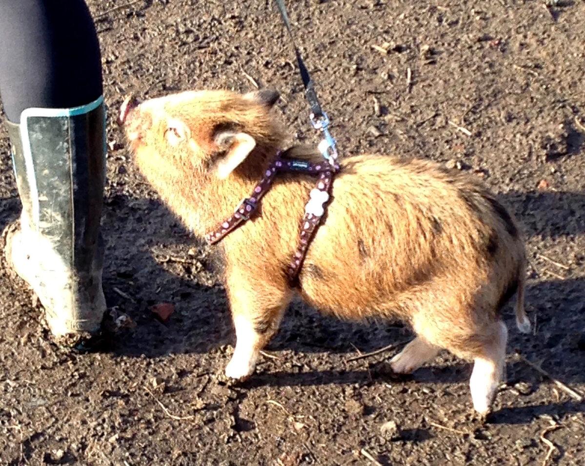 Mała świnka Grace