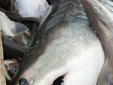 Rybak złapał 2-metrowego żarłacza białego. Swoim okazem pochwalił się na...