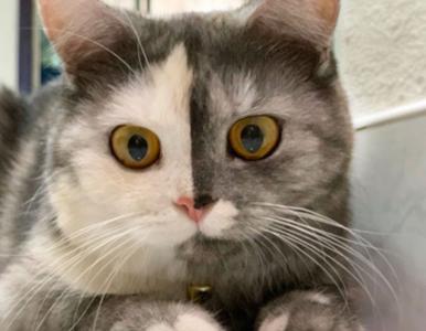"""Niezwykle uroczy kotek o """"dwóch twarzach"""". To bardzo rzadki przypadek"""