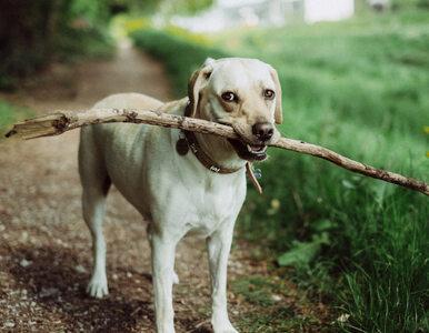 Twój pies naprawdę chce Cię uratować. Naukowcy przeprowadzili szereg...