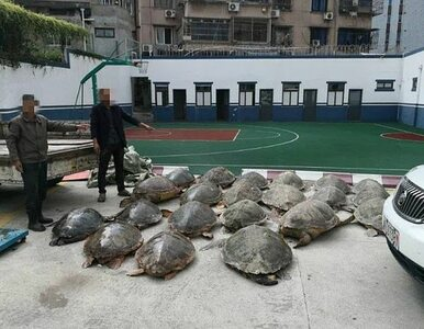Przemycał 107 zagrożonych wyginięciem żółwi. Zamroził je w chłodni