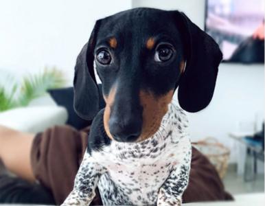 Pies wygląda jak dalmatyńczyk, chociaż jest jamnikiem. Poznajcie Moo