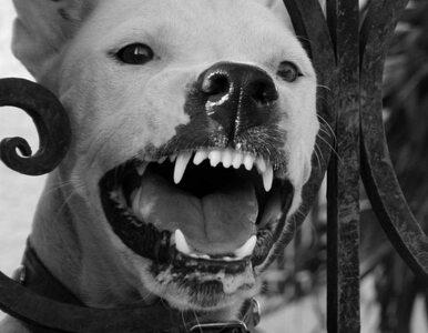 Nielegalne walki psów. Potężny gang rozbity