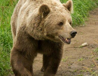Wrony i niedźwiedzie... atakują Rosjan
