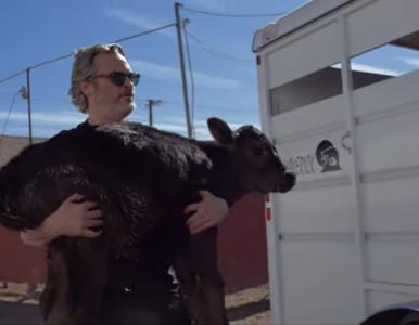 """Joaquin Phoenix uratował krowę i cielę z rzeźni. """"Może pojawić się w..."""