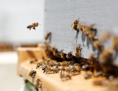 W Polsce przybywa pszczół. Pomagają amatorscy hodowcy