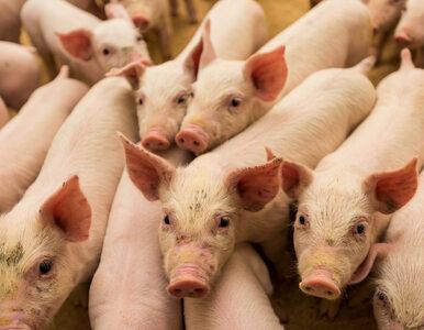 USA częściowo znoszą ograniczenia dla importu polskiej wieprzowiny