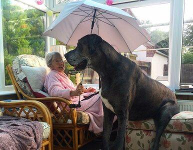 Poznajcie Freddiego – największego psa na świecie. Jak wygląda życie z nim?