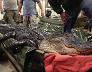 Ponad czterometrowa bestia w rękach łowcy aligatorów