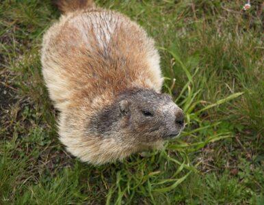 Białoruś: wędkarz zagryziony przez bobra. Chciał mu zrobić zdjęcie