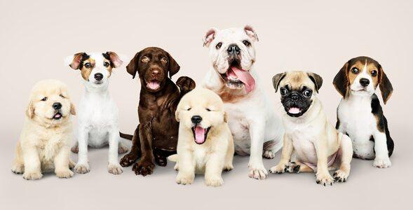 Quiz dla miłośników psów. Rozpoznaj po zdjęciu, jaka to rasa
